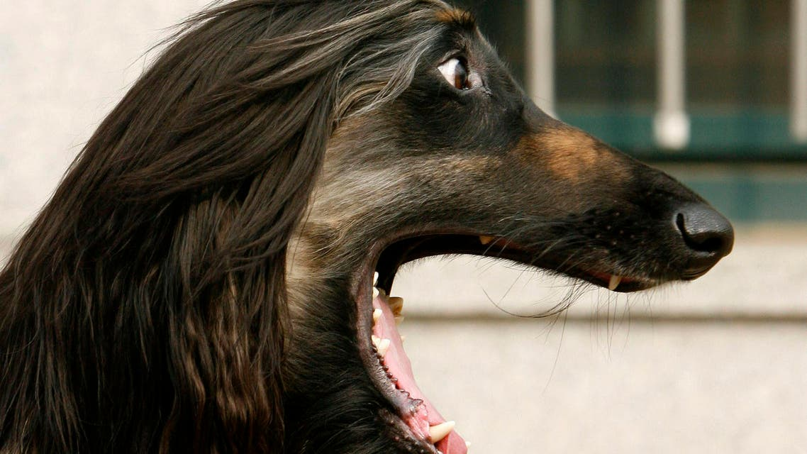 nuppy the Afghan Hound, the world's first dog cloned from adult cells by somatic nuclear cell transfer, barks during a photo call at Seoul National University's College of Veterinary Medicine March 12, 2008. A South Korean biotech company is offering dog owners the chance to clone their pet through a service that can cost up to $148,000 for a puppy. RNL Bio, affiliated with the South Korean lab that produced the world's first cloned canine, expects to deliver its first cloned dog in about a year to a U.S. woman in her 50s who saved biological material from her beloved pit bull that recently died. REUTERS/Jo Yong-Hak (SOUTH KOREA)