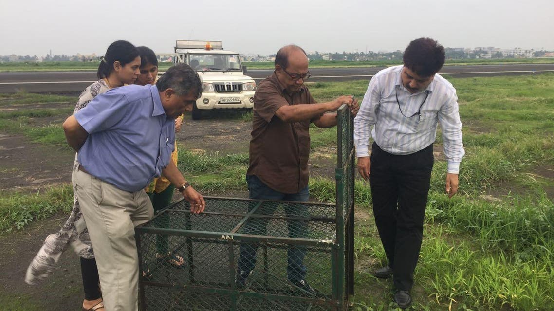 Officials examining traps for catching jackals at Calcutta airport. (Supplied)