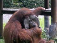 شاهد كيف يدخن هذا القرد السجائر بشراهة في إندونيسيا