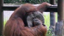 Indonesian orangutan caught puffing on zoo visitor's cigarette
