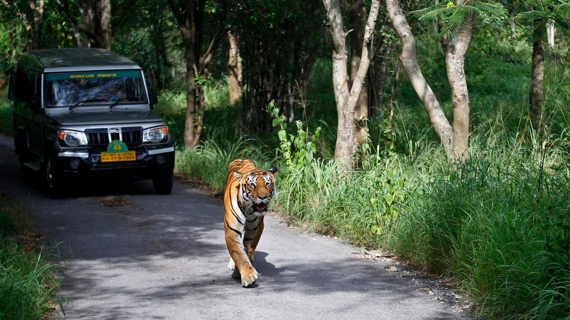 A Bengal tiger walks ahead of a vehicle on Global Tiger Day in the jungles of Bannerghatta National Park, near Bangalore, on July 29, 2015. (AP)