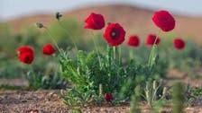 بالصور.. تعرف إلى زهور الديدحان المنتشرة بشمال السعودية