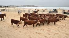 أبقار تجتاح شاطئاً أسترالياً.. لسبب غريب