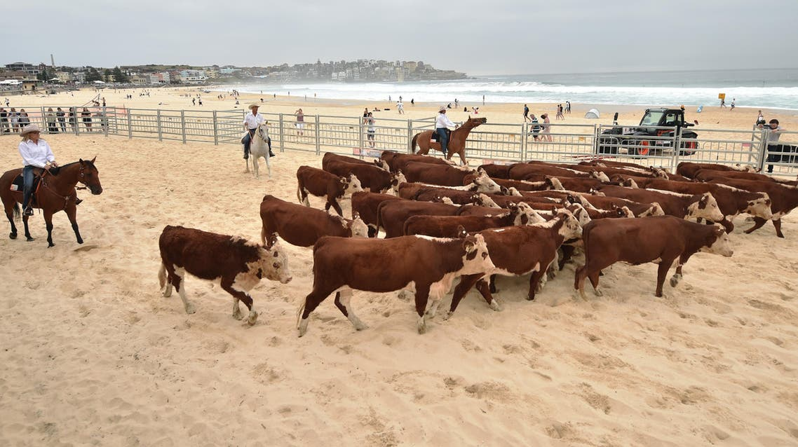 """Cows gather together after being released from a cattle truck onto Bondi Beach in Sydney on March 16, 2018 as part of an effort called """"Herd of Hope"""" to raise awareness about organ donation and transplants and the need for more support for health services in rural areas of Australia. Moos rang across Bondi Beach as the drovers on horseback mustered dozens of cows across its famous soft sands to raise awareness about rural health needs. PETER PARKS / AFP"""