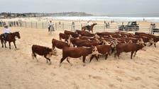 آسٹریلیا: انوکھے مقصد کے تحت ساحل پر گائیوں کا دھاوا