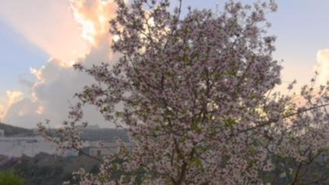 زهور اللوز في الباحة