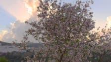 Blossoming almond trees blanket Saudi Arabia's mountains like snow