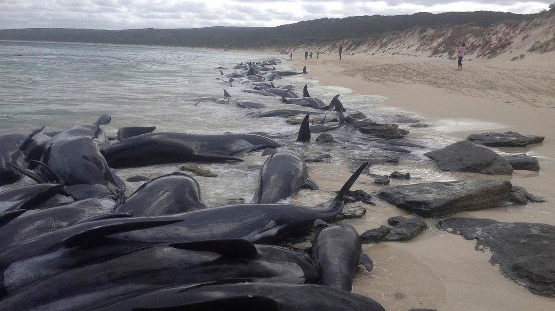 more than 150 short-finned pilot whales who became beached at Hamelin Bay, in Western Australia's south, Friday, March 23, 2018. (AP)