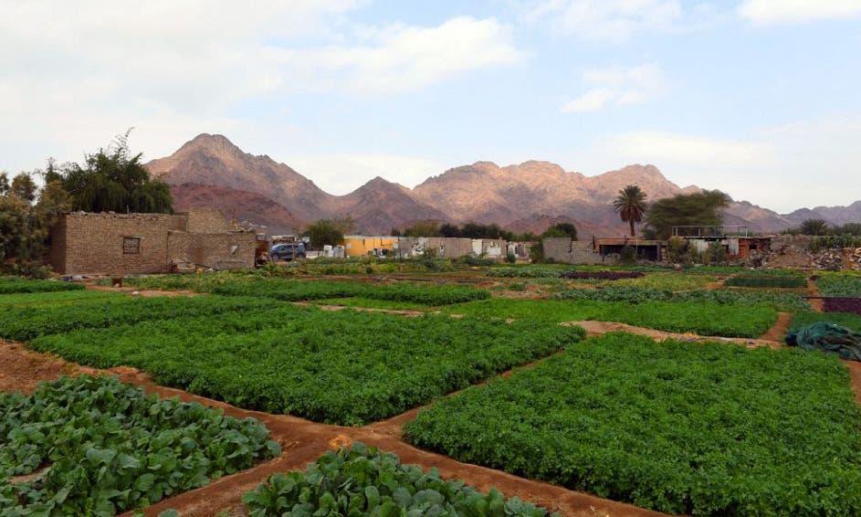 مزارع النعناع في المدينة