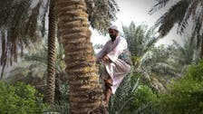 How palm tree pollination has preserved farmers' jobs in Saudi Arabia