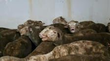 Australia investigates after 2,400 sheep die on ship to Qatar