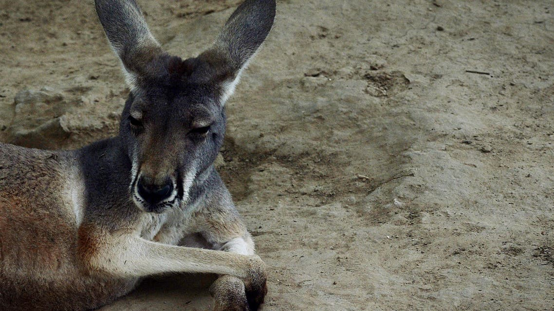(FILES) This file picture taken on June 24, 2013 shows an Australian kangaroo relaxing in its enclosure at the Beijing zoo. Visitors to a zoo in southeastern China killed one kangaroo and injured another by throwing bricks at them in an attempt to get a reaction from the big marsupials, state media reported on April 20, 2018. MARK RALSTON / AFP