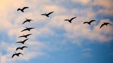 الطيور المهاجرة تبحث عن تحسين نوعية غذائها