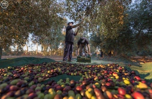 tree olive