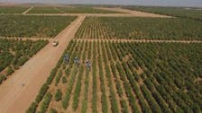 Inside the Saudi olive farm, the largest in the world