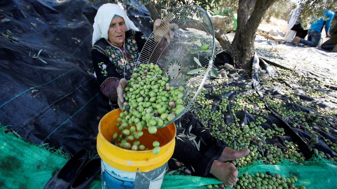 A Palestinian woman sorts freshly picked olives during harvest at a farm in the West Bank village of Biet Owwa, south of Hebron, on October 24, 2016. (Reuters)