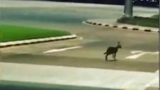 شاهد.. ذئب يتجول بحرية في مطار بيشة