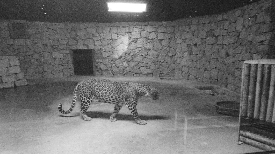 Visitors can see wild animals like leopards from close quarters in the nocturnal zoo. (Supplied)