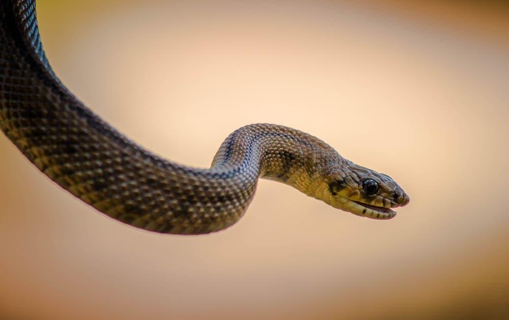 Brown snake. (Shutterstock)