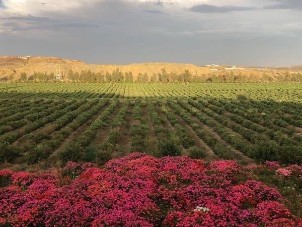 بالصور.. مزرعة ورد في أبها أحد أهم عوامل الجذب السياحي