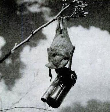 صورة لخفاش مجهز بقنبلة خلال إحدى التجارب الأميركية
