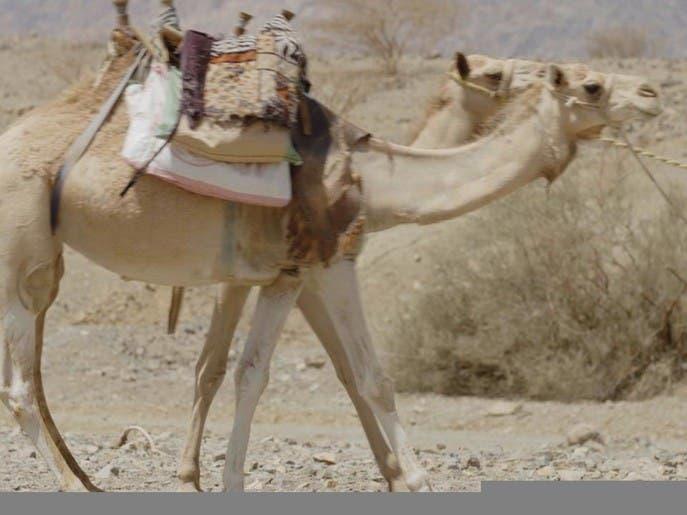 وقفات على خطى العرب | الناقتان المهاجرتان
