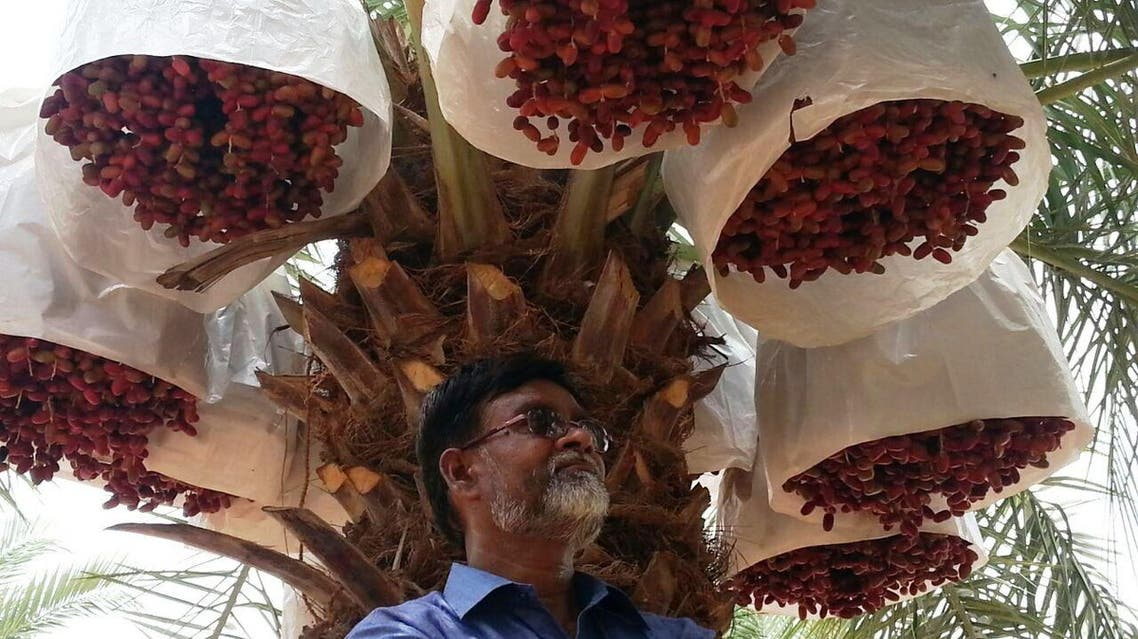 Nizamuddin S. cultivates 32 varieties of the luscious fruit as well as date palms. (Supplied)