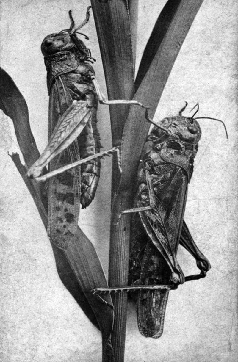 صورة فوتوغرافية تعود لأواخر القرن التاسع عشر لجراد الجبال الصخرية