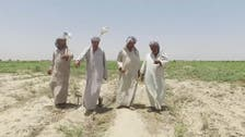 VIDEO: Iraq's treasured amber rice crop devastated by drought