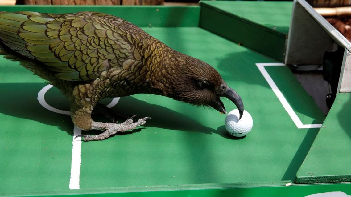 Newton, a Kea Parrot, specialised in World Cup forecasts, is seen after it predicted the outcome of the Uruguay-France Soccer World Cup game at the Menagerie du Jardin des Plantes in Paris. (Reuters)