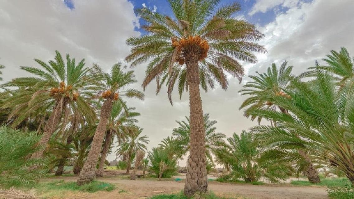 Palm tree platations in the  governorate of Bisha in Saudi Arabia. (Supplied)