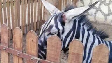 صور.. حمار دهنوه ليصبح وحشياً بحديقة حيوانات بمصر