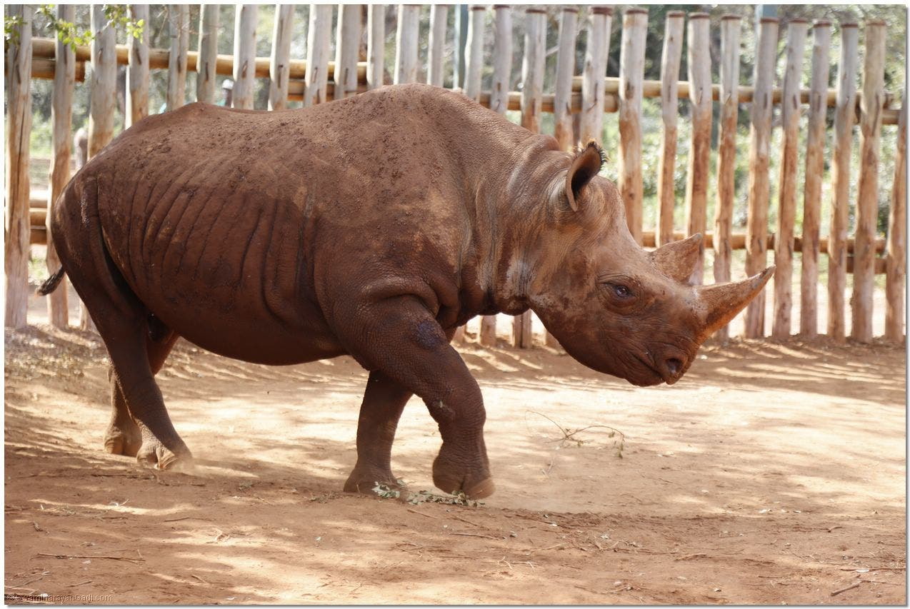 A rhinoceros blinded by poachers. (Supplied)