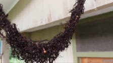 WATCH: Ants in 'war against wasps' manage to create remarkable bridge