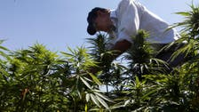 Cannabis farmers in Lebanon hope legalization may bring amnesty, reduce poverty