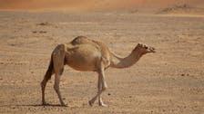 King Faisal University discovers genetic characteristics of Arabian camels