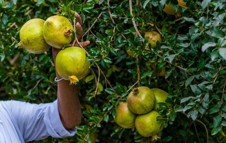 Pomegranate Saudi Arabia. (Supplied)