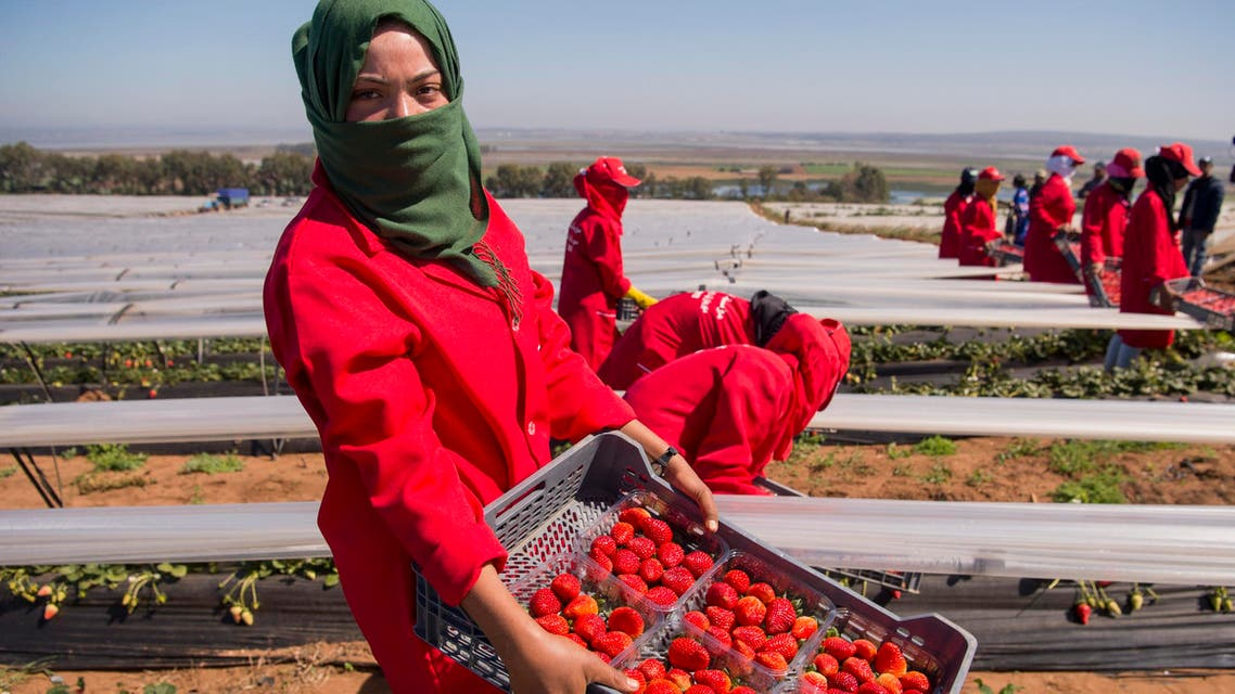 Female farm laborers pick strawberries in the Kenitra province country side of Morocco on March 8, 2017. (AFP)
