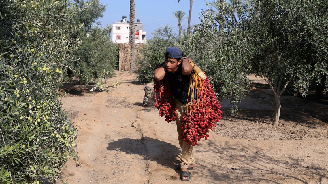 A Palestinian man carries bunches of freshly harvested dates in Deir al-Balah, in the central Gaza Strip September 23, 2018. REUTERS/Ibraheem Abu Mustafa