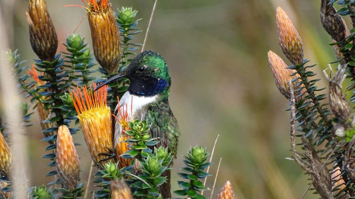 Handout photo taken on December 14, 2017 and released on September 28, 2018 by Ecuadoran ornithologist Francisco Sornoza of a male blue-throated hillstar hummingbird (Oreotrochilus cyanolaemus) pictured at the Cerro de Arcos, near the village of Zaruma in El Oro province, Ecuador, border with Peru.