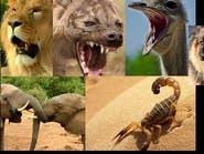 لغز أسماء أصوات حيوانات.. ما الذي جمع بين فيل وعقرب؟
