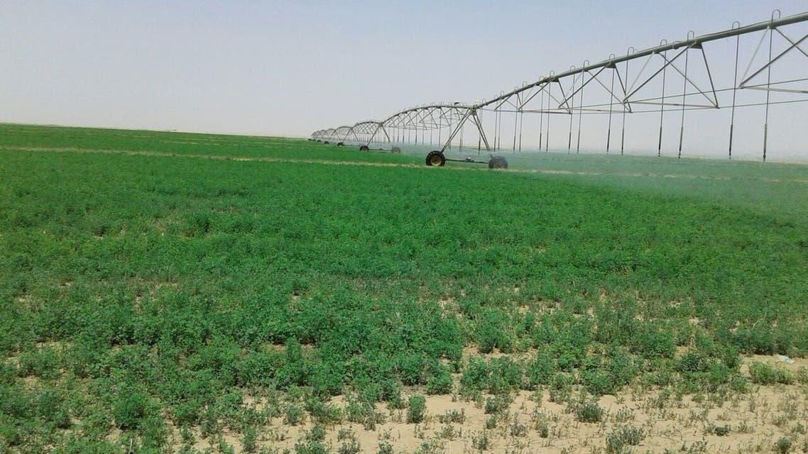 زراعة أعلاف مزارع الاعلاف السعودية