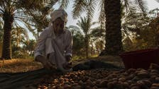'We had to get our land back': Tunisian date farm proves to be quite fruitful