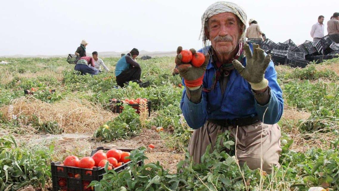 گوجه فرتگی
