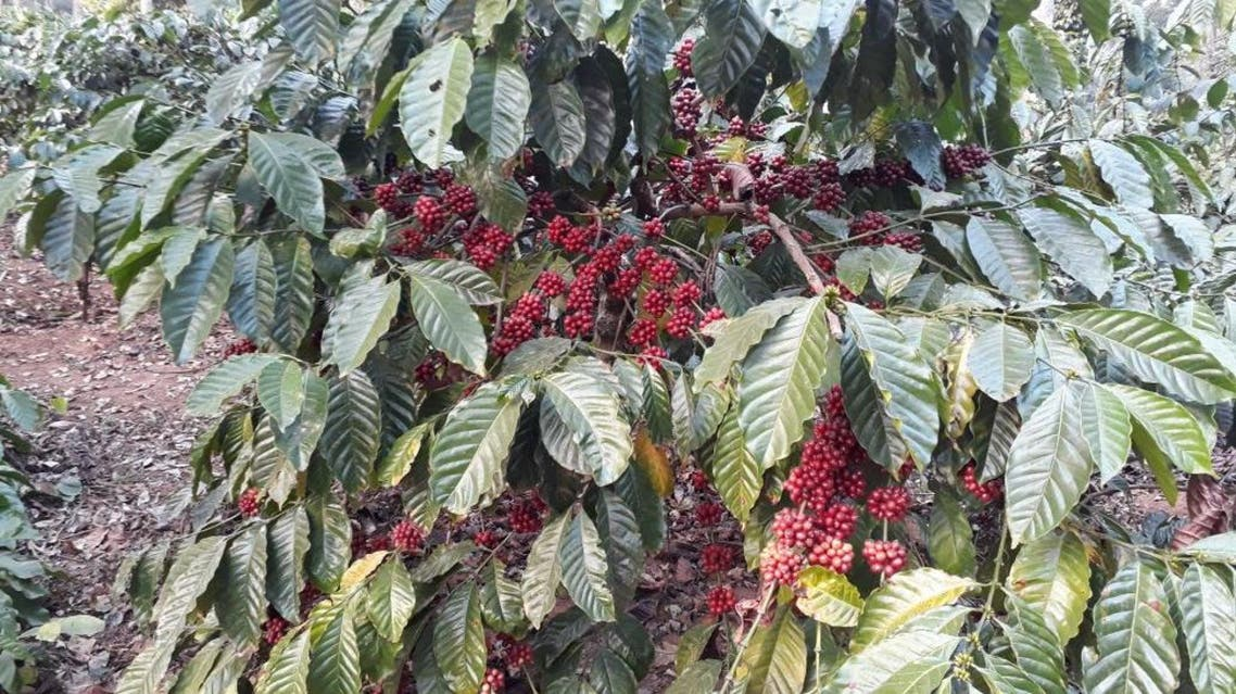 India is home to 16 distinct varieties of coffee. (Supplied)