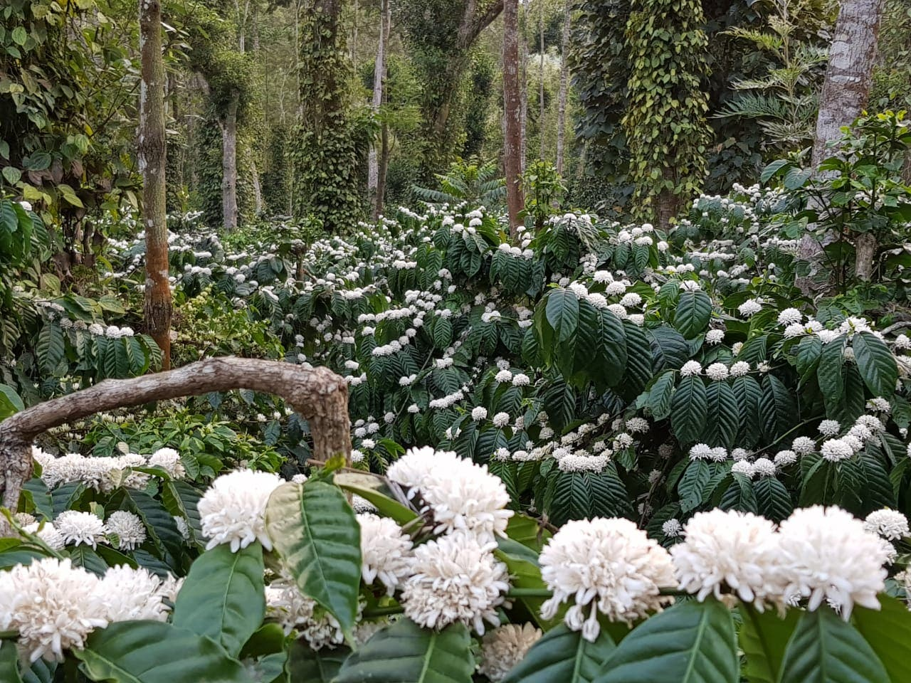 The charming region of Coorg is also one of the major grower of coffee. (Supplied)
