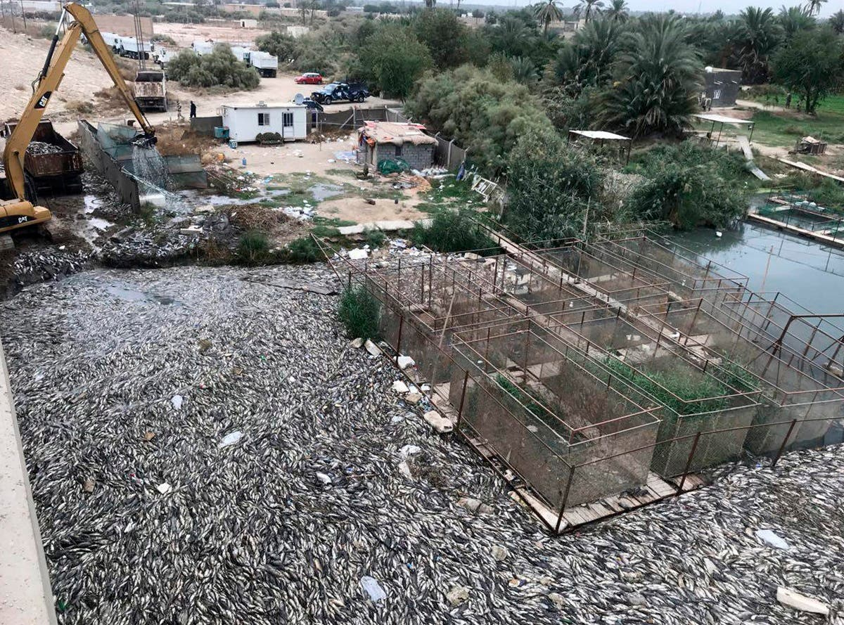 In this Saturday, Nov. 3, 2018 photo, Government employees collect dead carp from a fish farm on the Euphrates river near the town of Hindiyah, 80 kilometers (50 miles) south of Baghdad, Iraq. (AP)