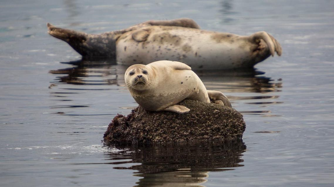 gray seal shutterstock