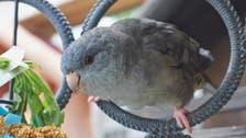 Abu Dhabi parakeet to receive customized prosthetic beak