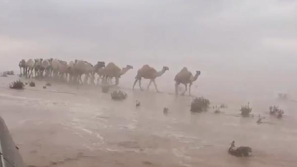 """شاهد.. قصة إبل """"هوليوودية"""" في صحراء السعودية"""